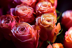 Salmon Roses (Fnikos) Tags: rose rosa roses rosas salmon salmón flower flowers flor flores fiore fiori nature naturaleza natura natur color colour colores colours colors dark light shadow shadows dof depth depthoffield bokeh outside outdoor