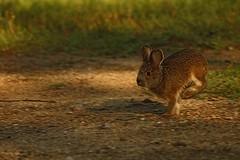 Titi le  levraut, Hare (francepar95) Tags: lièvres jeune levraut animal lièvredamérique mammifère nature sauvage hare