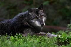 Timberwolf (babsbaron ( Bella )) Tags: canon nature tiere animals säugetiere mammals naturephotographie animalphotographie zoo wildpark lüneburgerheide raubtiere predators wildtiere wolf wölfe wolves