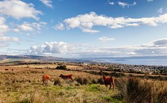 Photo of Cows in the foreground, Helensburgh in the back.
