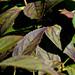 Forsythia Leaves, turning