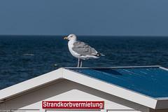 Sylt Impressionen - Einer muss den Überblick behalten (J.Weyerhäuser) Tags: dach herbst meer möwe strandwächter sylt übersicht