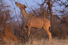 Female Kudu (leendert3) Tags: leonmolenaar southafrica krugernationalpark wildlife wilderness wildanimal nature naturereserve naturalhabitat mammal antelope kudu