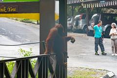 Orang-utan at Semenggoh Orang-utan Feeding Station (Jim Nicholson) Tags: nikon borneo malaysia my sarawak orangutan pongopygmaeus nikond850 d850 nikkor70200mmf28