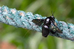 Beetle (Jim Nicholson) Tags: nikon borneo malaysia my sarawak beetle nikond850 d850 nikkor70200mmf28