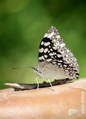 Terça-natureza (borboletas e mariposas) (sonia furtado) Tags: terçanatureza borboleta mariposa soniafurtado