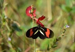 Terça-natureza (borboletas e mariposas) (sonia furtado) Tags: terçanatureza borboleta mariposa soniafurtado frenteafrente