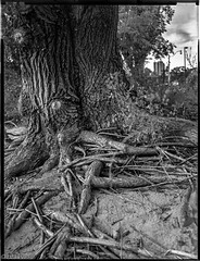 "Graflex Tmax400 ""roots in the city"" (Uta_kv) Tags: ektar127mmf47 crowngraphic kodakfilm lf asa200 expiredfilm graflex blackandwhitephotography analog filmphotography bnw largeformat blackandwhite kodak sheetfilm 4x5 film tmax400"