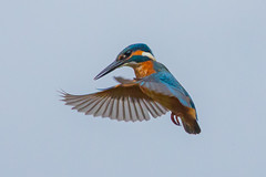 kingfisher in a hover (colin 1957) Tags: kingfisher hovering lackfordlakes