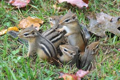Mama Chip and babies.... (nushuz) Tags: omgtherearebabies mamachip chipmunks chippies cuterthancute imblessed chippiebabies 4 myyard whatagreatsummer isntmothernaturegrand vt mschipandher4babies shesacautiousandgoodmama autumnleaves