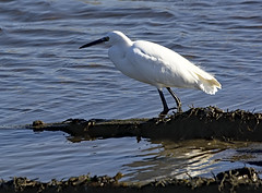 Little Egret 2 6 Oct 2019 (Tim Harris1) Tags: nikond7100 nikkor80400afs keyhaven hampshire bird littleegret