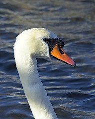 Swan 1 6 Oct 2019 (Tim Harris1) Tags: nikond7100 nikkor80400afs keyhaven hampshire bird muteswan