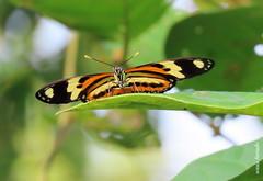 Terça-natureza (borboletas e mariposas) (sonia furtado) Tags: terçanatureza borboleta mariposa soniafurtado inseto
