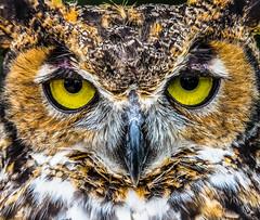 Great Horned Owl (tnigbor) Tags: owl bird raptor nature predator yelloweyes horned greathornedowl animal wildlife talons silent feathers birdofprey greathorned perched stare upclose beak concentration closeup eyes