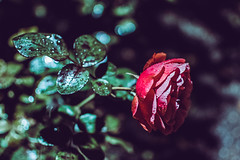Rose in the night (jansterino) Tags: helsinki finland suomi talvipuutarha winter garden rose ruusu rosa flower red green nikon nikkor 35mm night photography