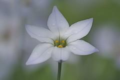 Spring Star Flower - Ipheion alberto castillo (Phasmomantis) Tags: spring star flower ipheion alberto castillo white pentax bulb pollen bokeh drops kmount petals
