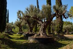 RM-2019-365-281 (markus.rohrbach) Tags: natur pflanze baum olivenbaum baumschule projekt365