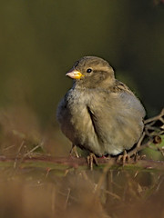 Sparrow 2 6 Oct 2019 (Tim Harris1) Tags: nikond7100 nikkor80400afs keyhaven hampshire bird housesparrow