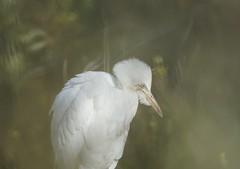 Héron garde-boeufs (Nature Action) Tags: héron gardeboeufs bubulcus ibis western cattle egret bird lpo camargue birding