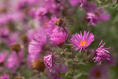 Herbst-Astern (Ernst_P.) Tags: 135mm a99ii austria aut botanischergarten f20 innsbruck österreich pflanze samyang tirol walimex blume blüte aster