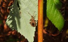 Doc Leaf Shield Bug (Coreus Marginatus) (Nick Dobbs) Tags: insect doc leaf shield bug coreus marginatus heath heathland dorset