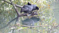 mirror mirror (achatphoenix) Tags: eurasiancoot fulicaatra blesshuhn water eau aqua animal bird wasser autumn see lake reflection spiegelung mirror