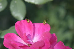 Spotted Cucumber Beetles On A Rose - They're Everywhere (Modkuse) Tags: spottedcucumberbeetle insect nature beetle creature bokeh creamybokeh natural natureart art artphotography artistic artisticphotography photoart nopostprocessing sooc straightoutofcamera fujifilm fujifilmxt2 xt2 fujinon fujinonxf55200mmf3548rlmois xf55200mmf3548rlmois longlens flower flowers rose roses rosegarden provia fujiprovia xt2proviasimulation fujifilmxt2provia fujifilmxt2proviasimulation