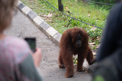 Orang-utan at Semenggoh Orang-utan Feeding Station (Jim Nicholson) Tags: nikon borneo malaysia my orangutan pongopygmaeus nikond850 d850 nikkor70200mmf28