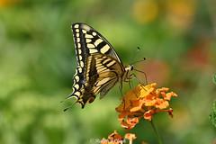 European Swallowtail (Ralph J Clark) Tags: europeanswallowtail butterfly sicily nikon200500mmf56