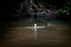 """My """"Seal"""" Spaniels (Missy Jussy) Tags: pets dogs animals swimming spaniel springerspaniel rupert razz englishspringer trip holiday water canon river outside outdoor forge ef70200mmf4lusm canoneos5dmarkii savignacledrier littledoglaughedstories"""
