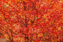 Fall Leaves (Wycpl) Tags: fall leaves red maple utah jcpphotography hobblecreek