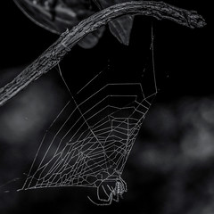 www.hangon. (Gullivers adventures) Tags: web spider naturephotography nature bnw blackandwhitephotography blancoynegro branches bokeh