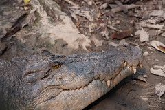 Crocodile at Semenggoh Orang-utan Feeding Station (Jim Nicholson) Tags: nikon borneo malaysia my sarawak nikond850 d850 nikkor70200mmf28
