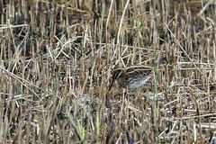 Jack Snipe (VaughanG) Tags: jacksnipe spurn bird migrant sonyrx10m4