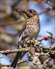 Juvenile Eastern Bluebird (Sialia sialis) (Steve Arena) Tags: heirloomharvestcsa heirloomharvest easternbluebird sialiasialis bird birds birding westborough westboro worcestercounty massachusetts 2019 nikon d750