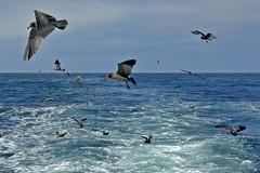 Heermann's Gulls (Larus heermanni).  Monterey Bay, California, USA. (cbrozek21) Tags: heermannsgull larusheermanni bird gull seabird water birdsflying birdinflight ocean
