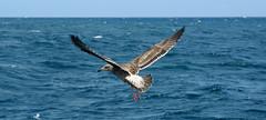 Western Gull (Larus occidentalis). Monterey Bay, California, USA. (cbrozek21) Tags: westerngull larusoccidentalis flying flight birdinflight birdflying water ocean birdwatcher bird nature gull