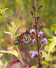 Monarch Butterfly (mahar15) Tags: butterflyonflower outdoors monarchbutterfly insect butterfly nature