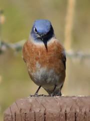 Western Bluebird, male (California birds & other sights) Tags: bird bluebird westernbluebird