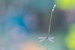 Un rêve de demoiselle (Richard Holding) Tags: dragonfly insect insecte libellule m43 myolympus nature oeilsauvage olympus omd richardholding