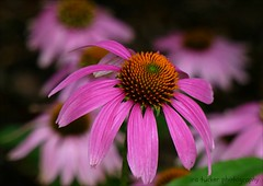 Look for something positive in every day.... (itucker, thanks for 5+ million views!) Tags: macro bokeh pink hppt echinacea coneflower conevin raulstonarboretum