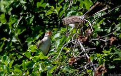 Northern Mockingbird (Mimus polyglottos) (Steve Arena) Tags: westborowma westborowildlifemanagementarea northernmockingbird nomo mimuspolyglottos bird birds birding westborough westboro worcestercounty massachusetts 2019 nikon d750