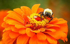 Last Supper in Frelinghuysen Arboretum (Yuri Dedulin) Tags: frelinghuysen arboretum morristown nature new jersey bee colorfull fall colors 2018 flowers macro yuri dedulin canon sigma flower plant garden fleur flora outdoor outside yard blur bokeh closeup summer weekend day september bright namture nj fun photography evening view yellow red disturbed insect park ngc