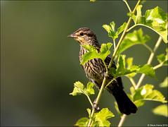 Red-winged Blackbird (Agelaius phoeniceus) (Steve Arena) Tags: heirloomharvestcsa heirloomharvest redwingedblackbird agelaiusphoeniceus rwbl bird birds birding westborough westboro worcestercounty massachusetts 2019 nikon d750