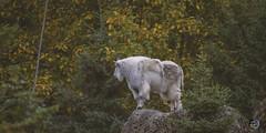 Mountain goat high 2019 (TheArtOfPhotographyByLouisRuth) Tags: goat mountaingoat animal wildlife nikon200to500mmlens nikond810 lambsheepwoolewepetsbarnyardanimals