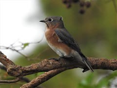 Eastern Bluebird Female (day-at-the-beach) Tags: bluebird