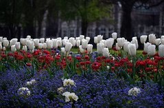 Tulips, anemones and forgetme nots (Maureen Pierre) Tags: fujifilm xt2 flower christchurchbotanicgardens spring colour tulip anemone forgetmenot