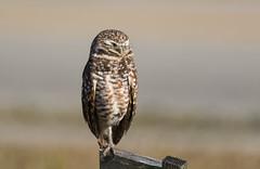 Burrowing owl, Cape Coral (Forgotten coast photography) Tags: cape coral florida burrowing owl