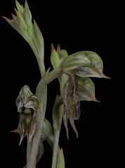 Pterostylis pusilla - The Tiny Rusty-hood 1 (species orchids) Tags: australian native species groundorchid endangered pterostylisbiseta miniatureorchid