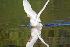 Riverside Valley Park, Exeter, Devon - Sept 2019 (Dis da fi we) Tags: mute swan cygnus olor exeter devon riverside valley park